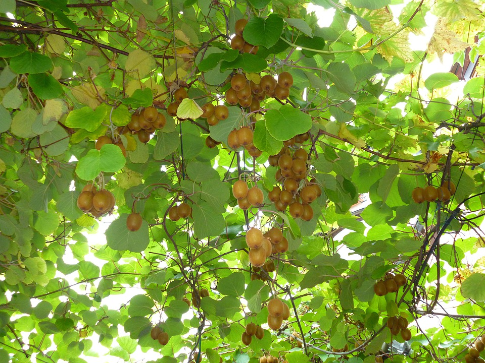Kiwis, Fruits, Green, Leaves, Autumn