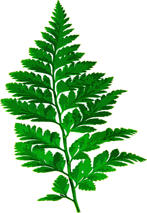 Fern, Leaf, Nature, Green, Leaves, Plant, Forest