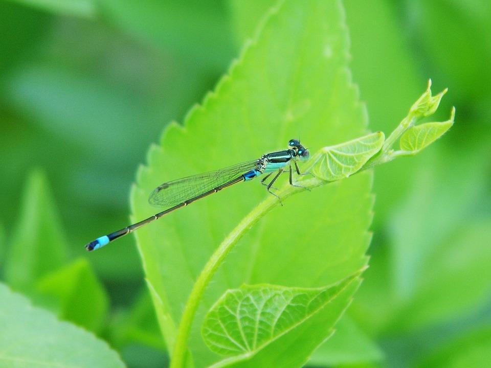 Damselfly, Green Leaves, Little Dragonfly, Blue
