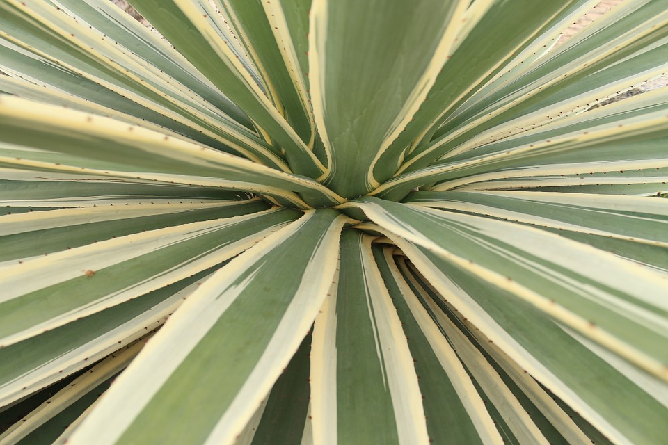 Agave Cactus, Leaves, Plant, Green, Nature, Flora