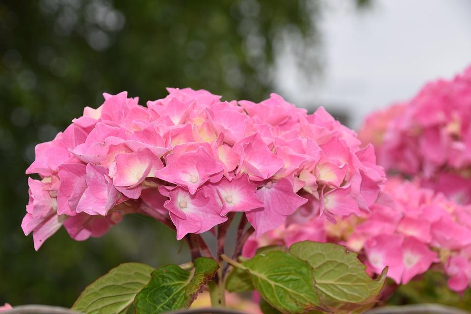 Flower, Flower Hydrangea, Pink Hydrangea, Green Leaves