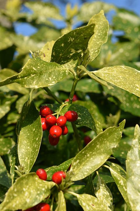 Shrub, Small Fruit Tree, Fruit Red Color, Green Leaves