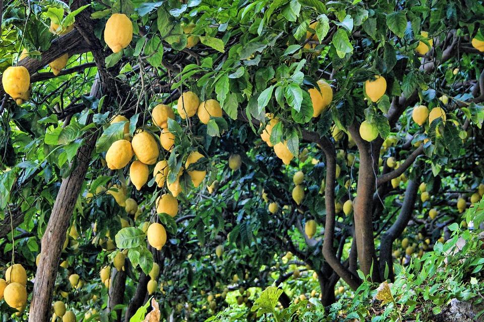 Lemon, Lemon Tree, Tree, Fruit, Citrus Fruits, Green