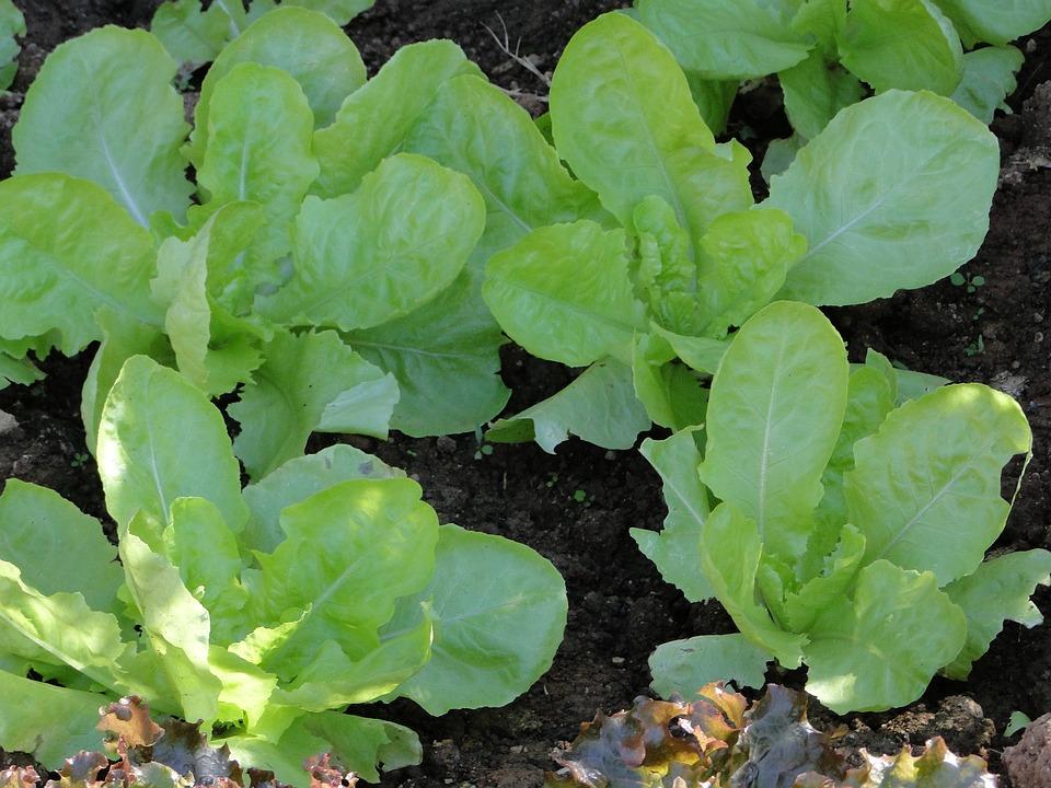 Horta, Green, Healthy, Nature, Food, Plants, Lettuce