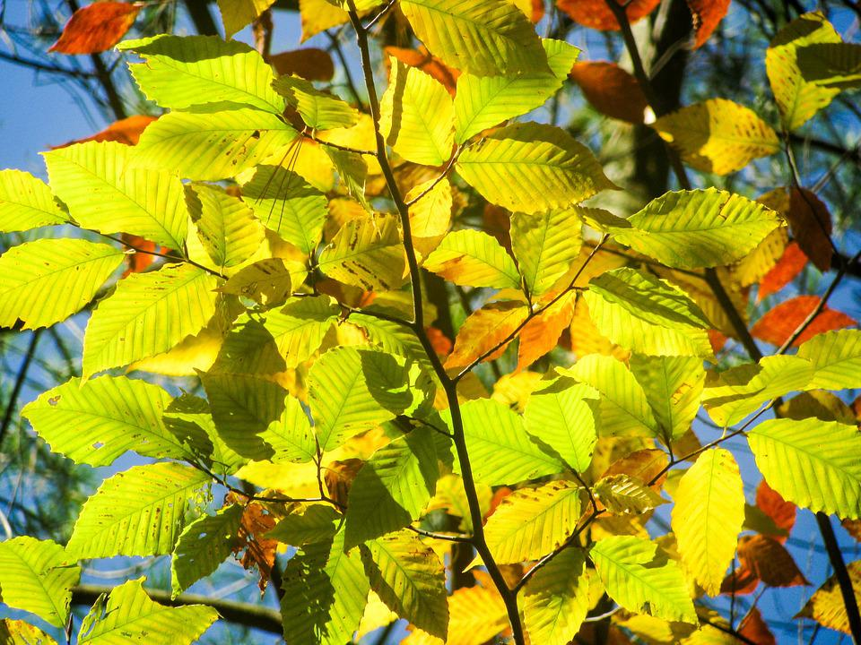 Beech, Tree, Leaves, Green, Bright, Light, Nature
