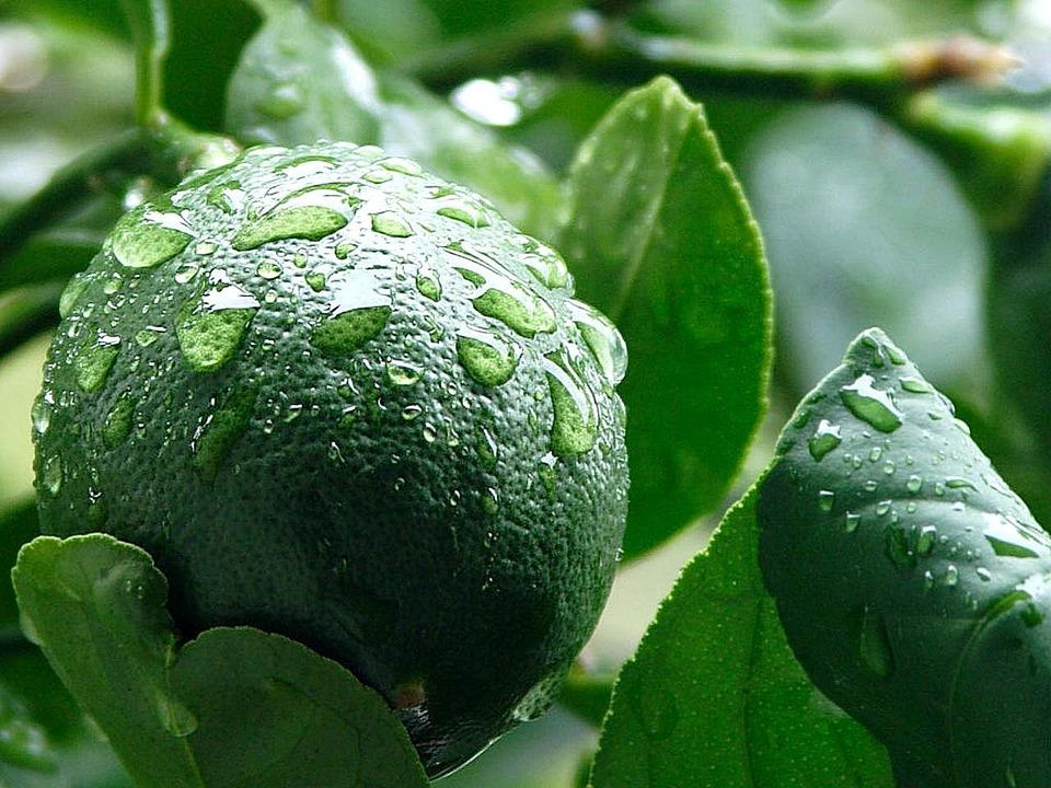 Lemon, Meyer, Green, Limes, Lemons, Fruits, Plants