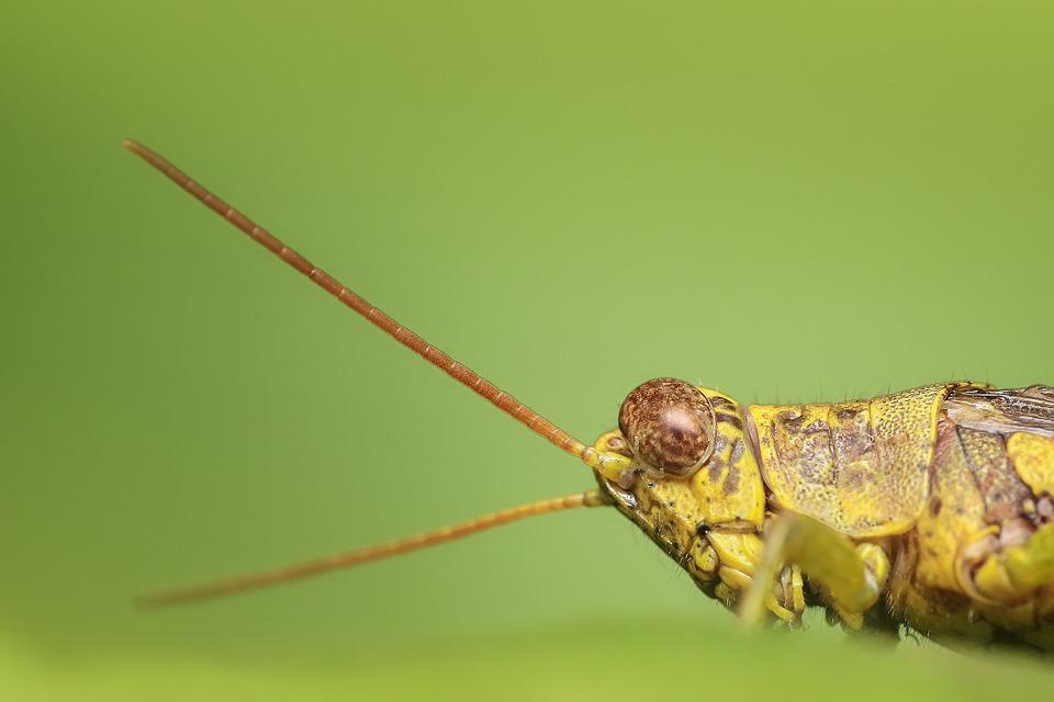 Grasshopper, Insect, Macro, Green, Nature, Animal