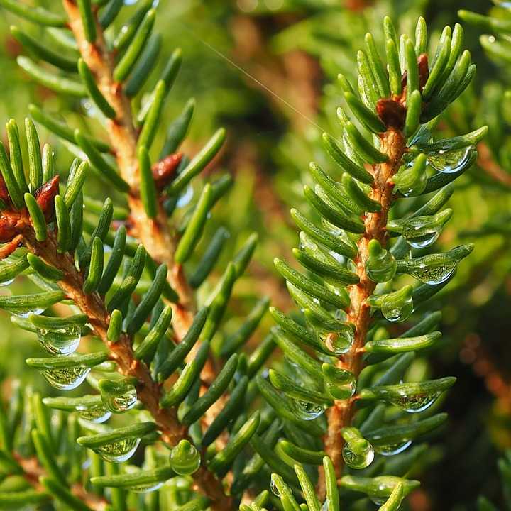 Needles, Twig, Macro, Twigs, Nature, Green, Spruce