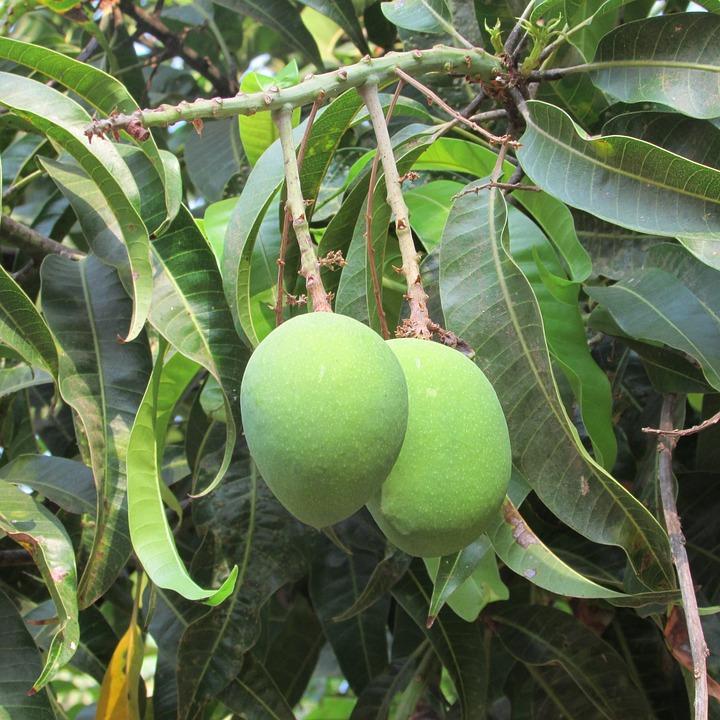 mango tree flower free photo green mango tree india mangos dharwad fruits max pixel