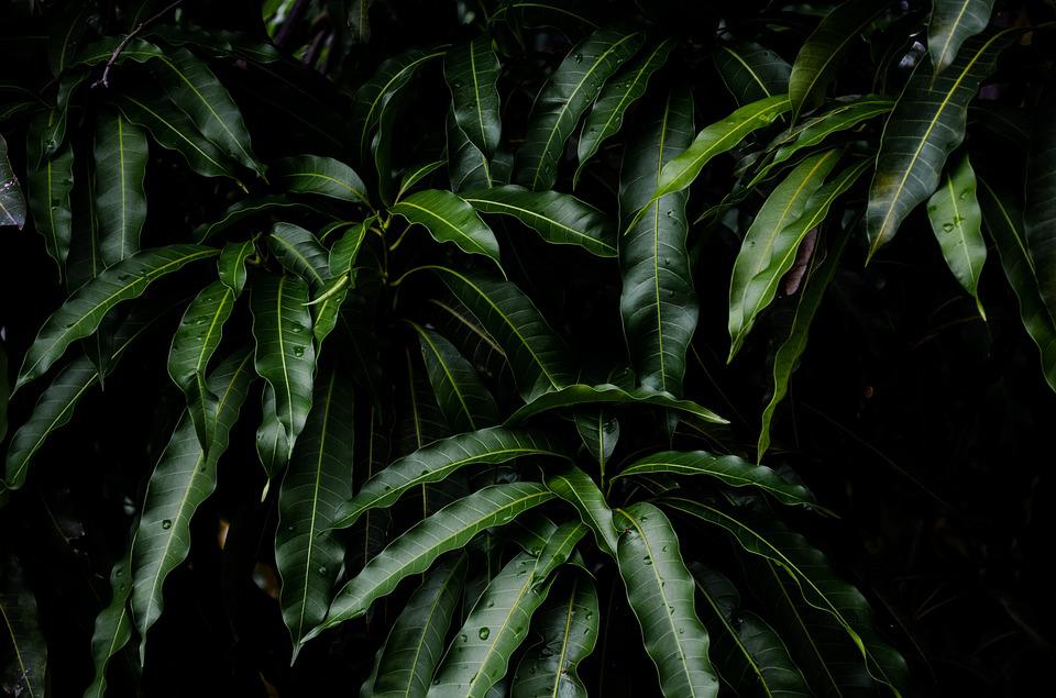 Tree, Leaves, Mango, Nature, Trees, Branch, Green