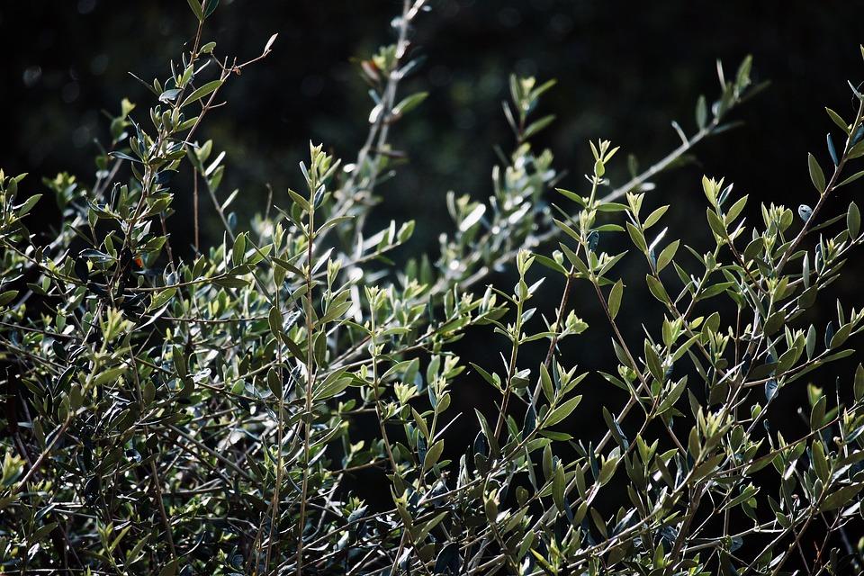 Olive Tree, Olive Branch, Green, Mediterranean, Olives