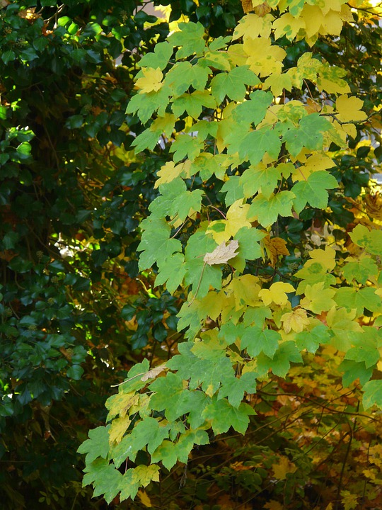 Mountain Maple, Leaves, Fall Color, Green, Yellow