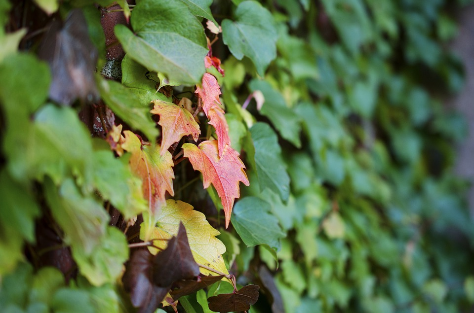Leaves, Leaf, Nature, Autumn, Green, Red, Natural, Vine