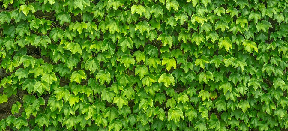 Ivy, Leaf, Plants, Nature, Green, The Leaves, Abstract