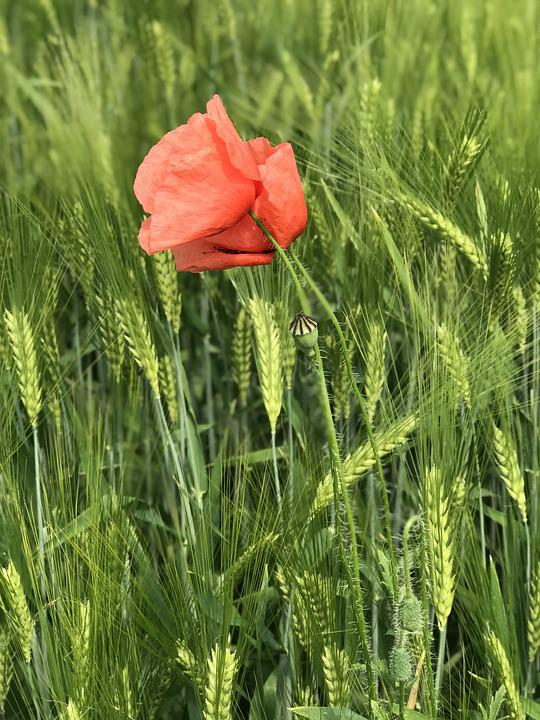 Free photo green nature flower summer red poppy wheat max pixel poppy wheat green red flower nature summer mightylinksfo Choice Image
