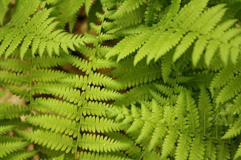 Fern, Plant, Nature, Green, Leaf, Leaves, Environment