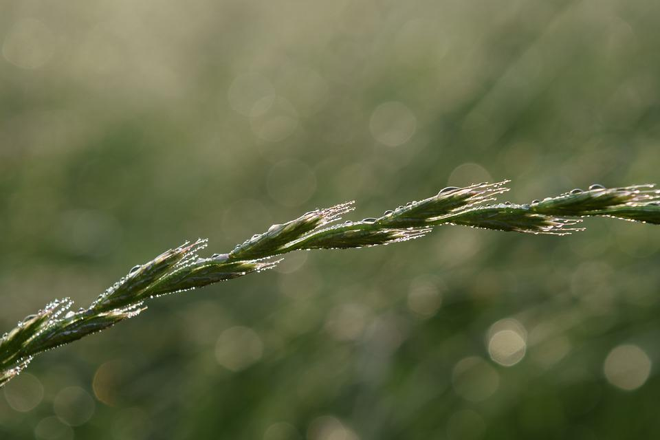 Grass, Morgentau, Green, Dewdrop, Dew, Nature, Drip