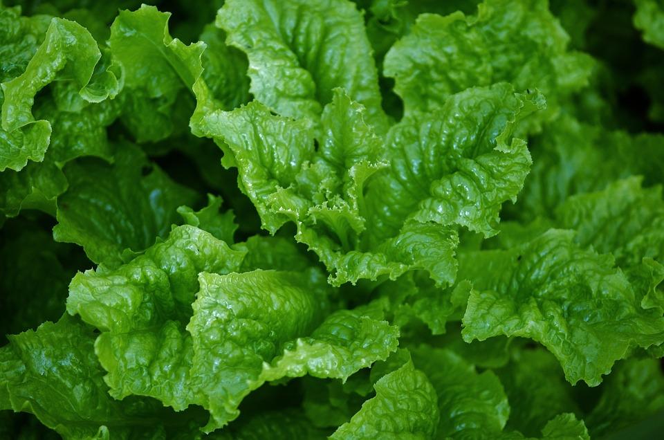 Salad, Green, Food, Eating, Nature, Organic, Garden