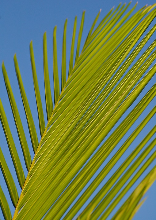 Frond, Palm, Leaf, Bangalow Palm, Green, Blue, Tropical