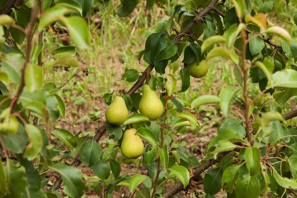 Pears, Harvest, Vegetable Garden, Dacha, Fruit, Green