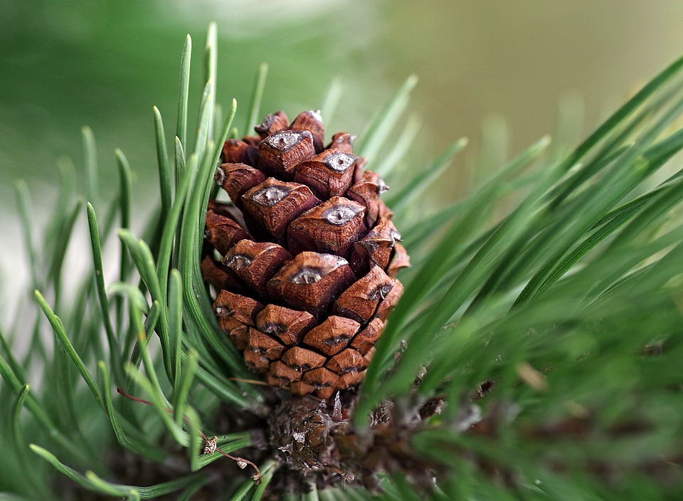 Pine Cone, Pine, Coniferous, Reed, Christmas, Green