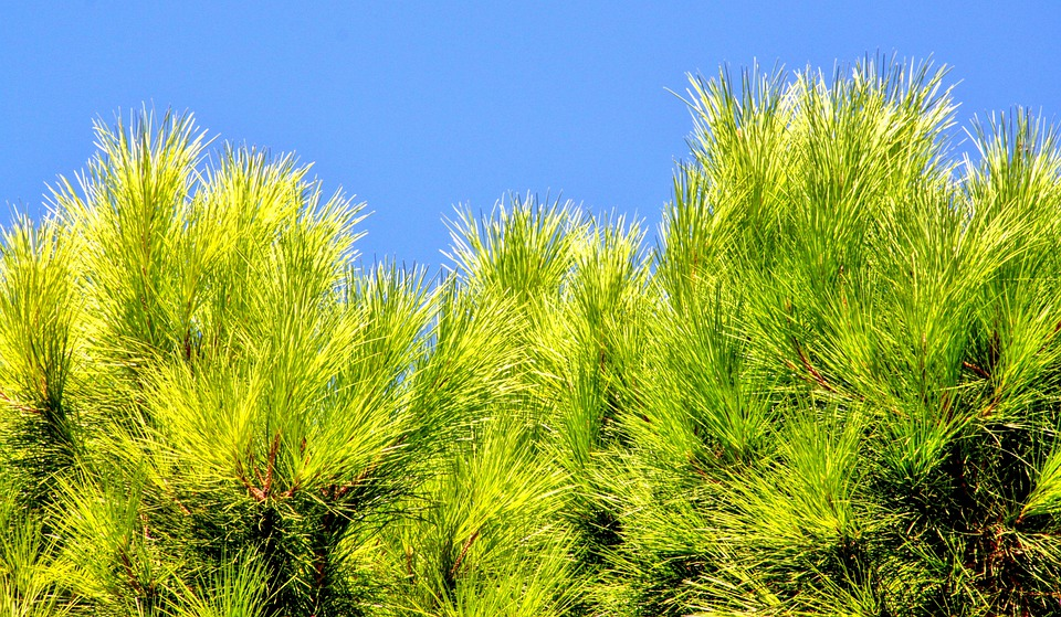 Conifer, Pine Needles, Pine, Pine Greenhouse, Green