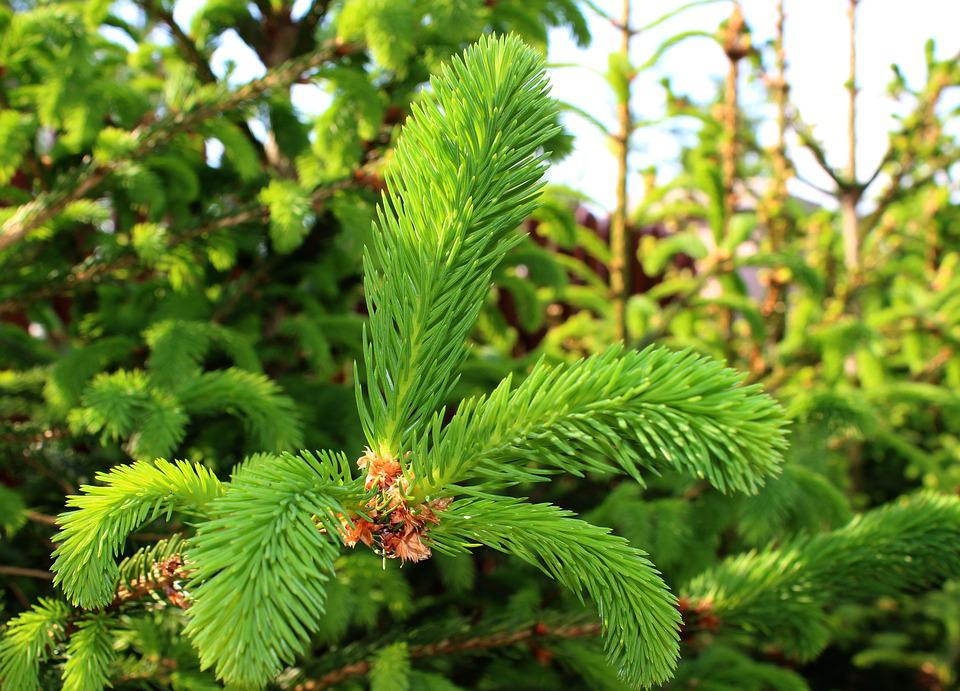 Nature, Spring, Plant, Pine, Garden, Green, Clear