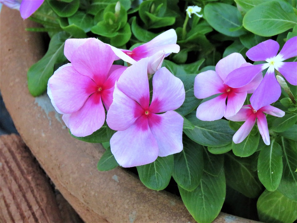 Flowers, Pink, Green, Potted