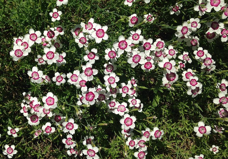 Dianthus Barbatus White