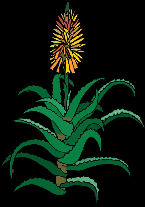 Succulent, Aloe, Plant, Green, Nature, Botany, Garden