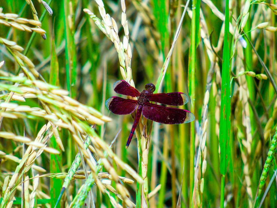 Dragonfly, Green, Insect, Bug, Plant, Wildlife, Grass