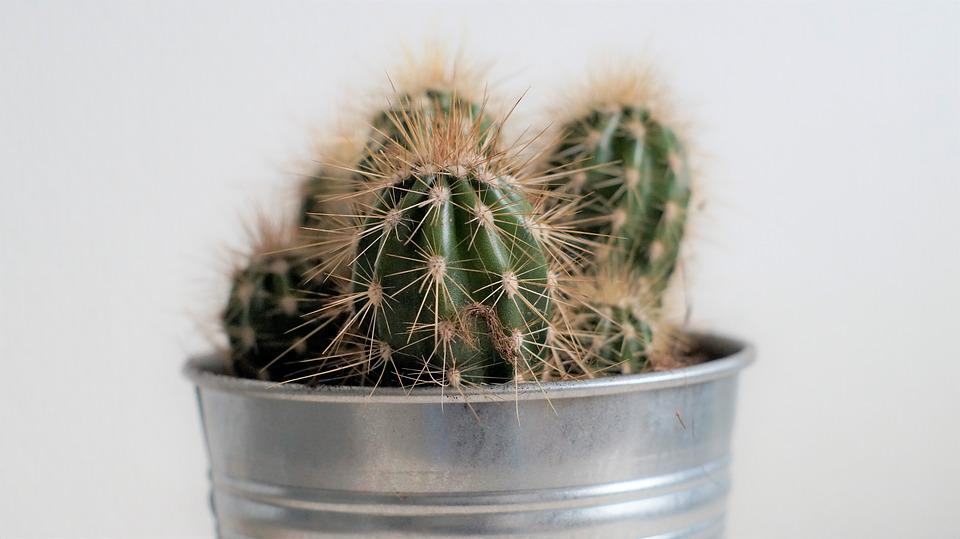 Cactus, Spiky, Spikes, Decoration, Plant, Green, Dry