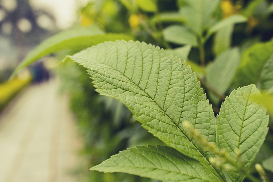 Leaf, Green Leaf, Green, Nature, Plant, Green Leaves