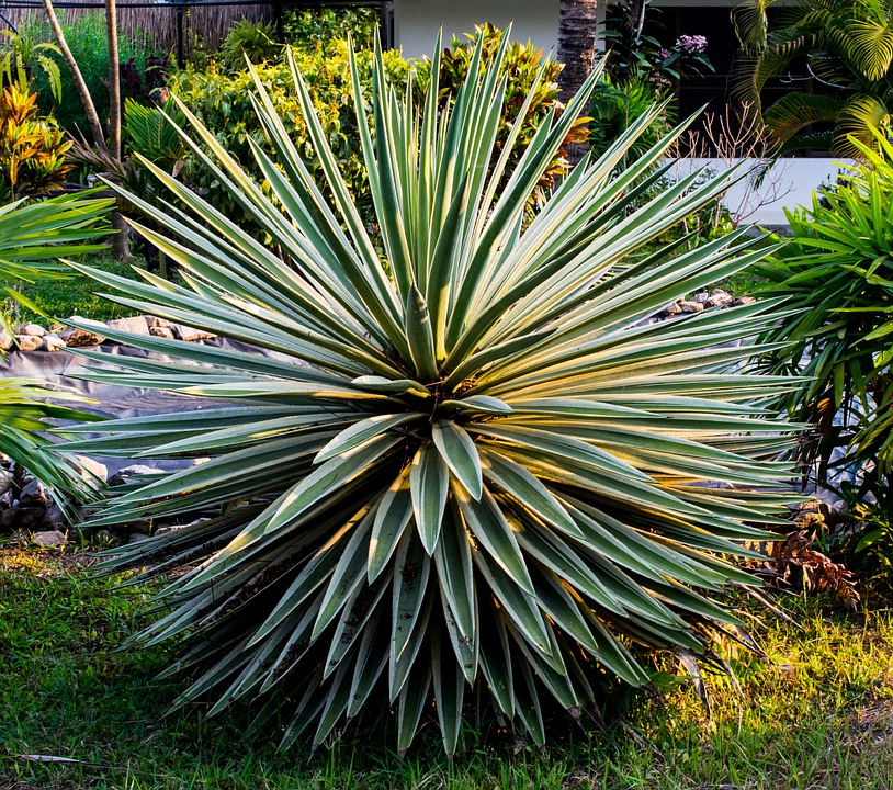 Agave, Plant, Green, Prickly, Spur, Pointed