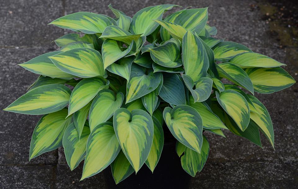 Plantain Lily, Hosta, Wide Brim, Green, Leaf, Leaves