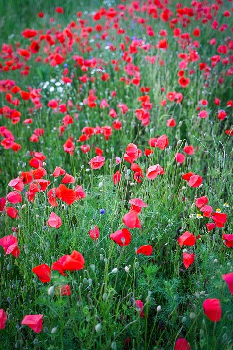 Poppy, Klatschmohn, Field Of Poppies, Green, Red