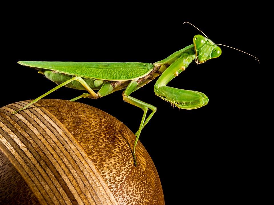 Praying Mantis, Fishing Locust, Green, Close