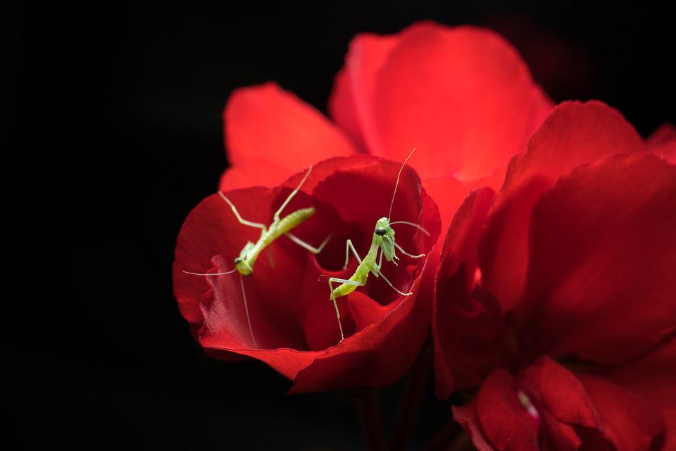 Praying Mantis, Insects, Mantis, Green, Mantodea