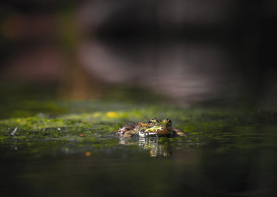 Frog, Reptiles, Moss, Water, River, Puddle, Green
