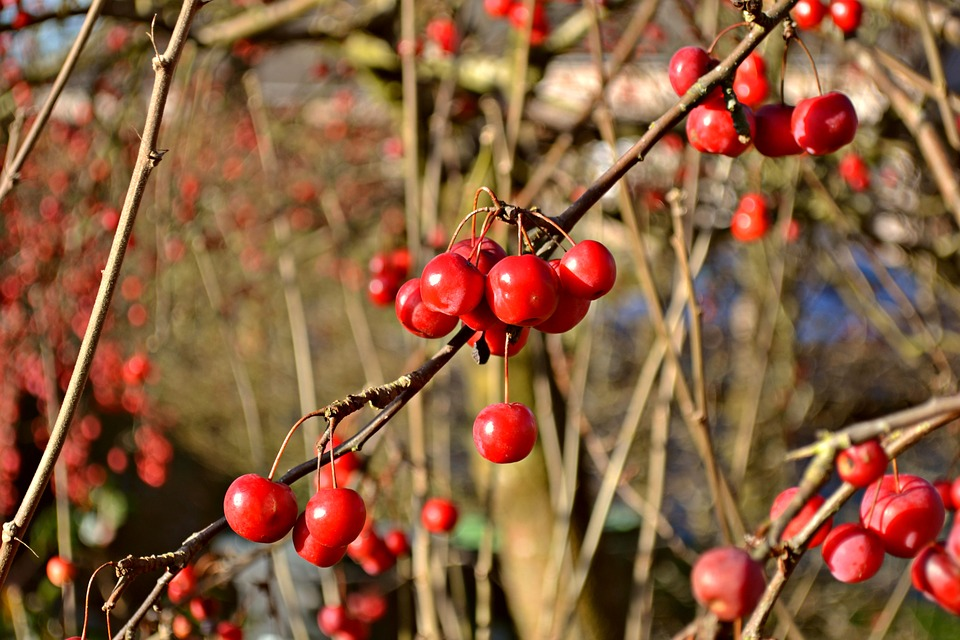 Autumn Berries, Autumn, Berries, Nature, Green, Red