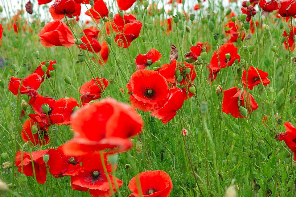 Poppies, Red, Plant, Green
