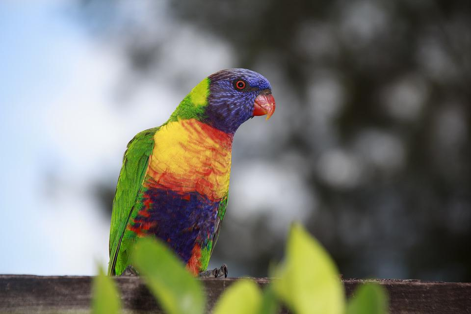 free photo green red yellow parrot natural australia bird max pixel