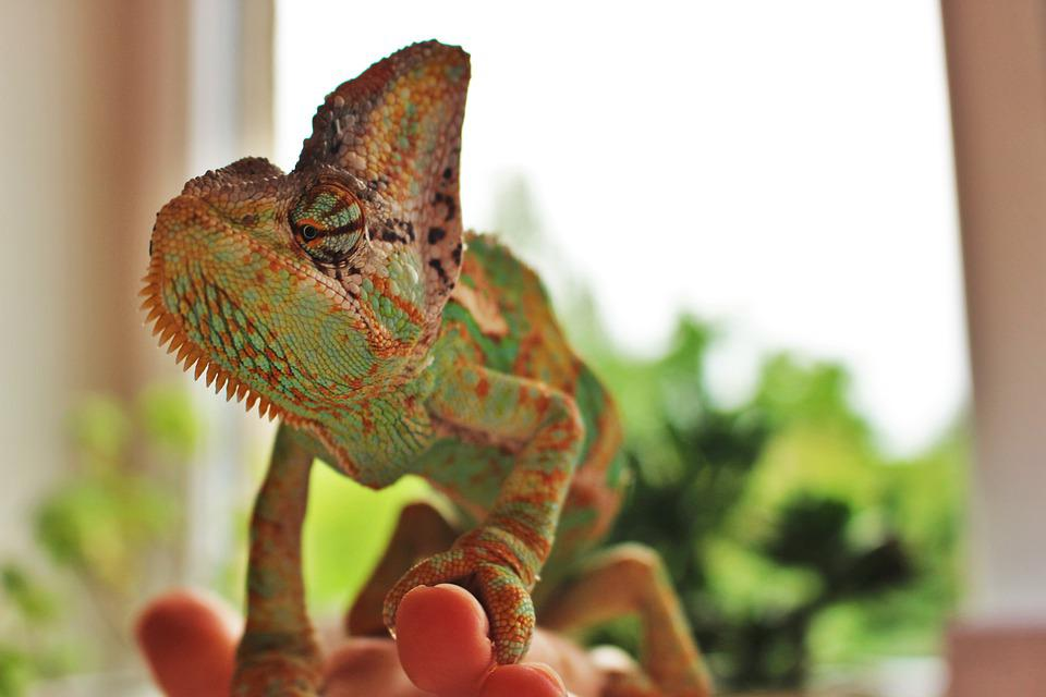 Fauna, Chameleon, Animal, Reptile, Green, Lizard
