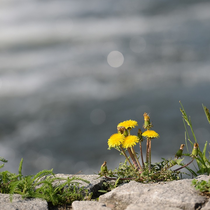 Dandelions, River, Detail, Leaf, Green, Spring, Nature