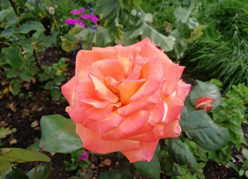 Rose, Orange, Peach, Green, Flower, Floral, Colourful