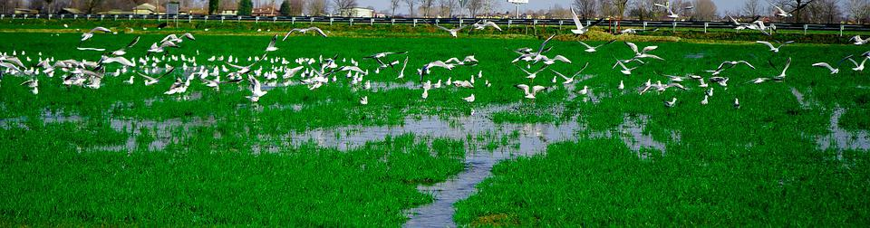 Seagulls, Green, Campaign, Rice Field, Nature