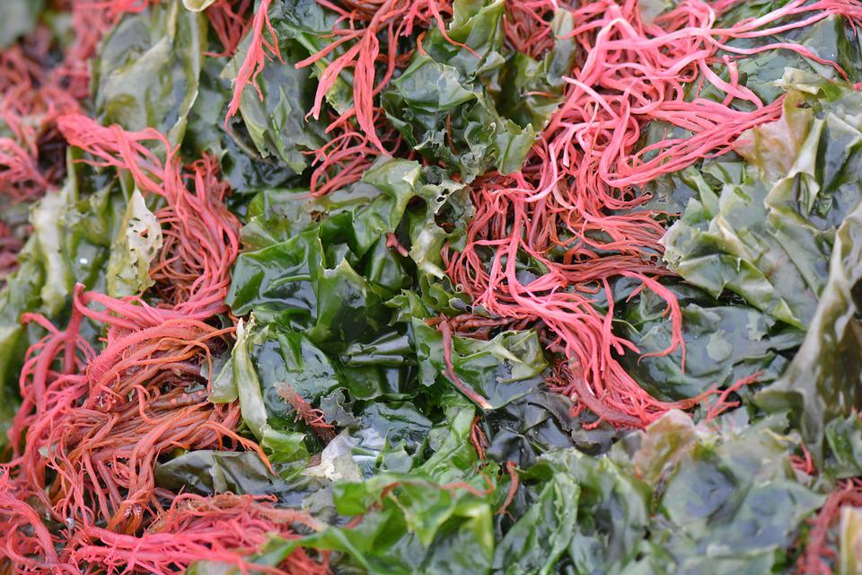 Seaweed, Algae, Nature, Red, Green