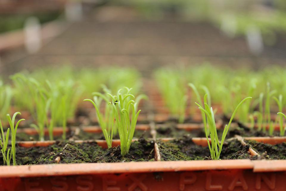 Green, Sprouts, Garden, Agriculture, Nursery, Seedling