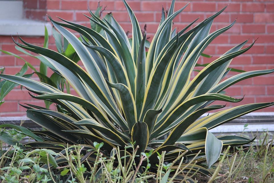 Snake Plant, Shrub, Plant, Green