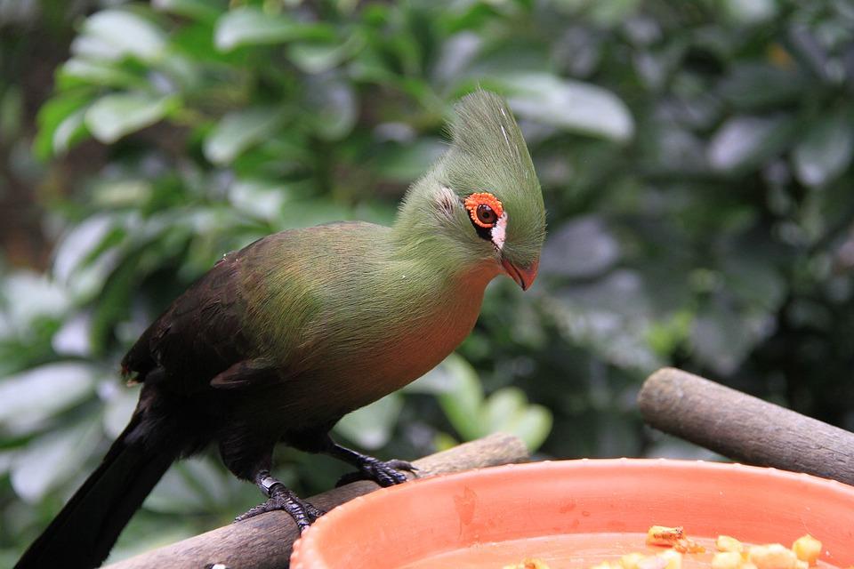 Green Silk Crown Monk Hat Bird, Red Eyelids